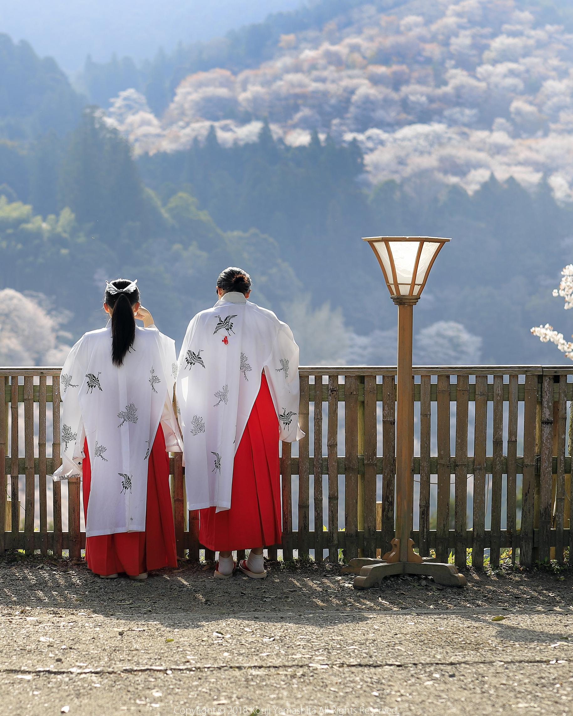 巫女さんと、千本桜。