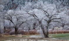 Frosted Cottonwoods Near Mora