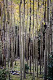 Dense Forest III