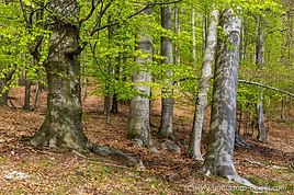 Buchenwald Grumsin_DSC_4410.jpg