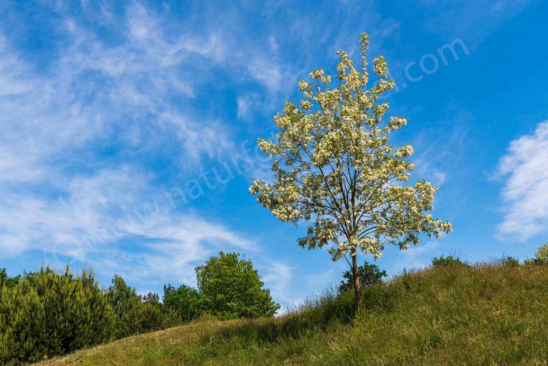 Robinienblüte, Glindower Alpen