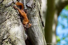 Eichhörnchen_DSC_4598.jpg
