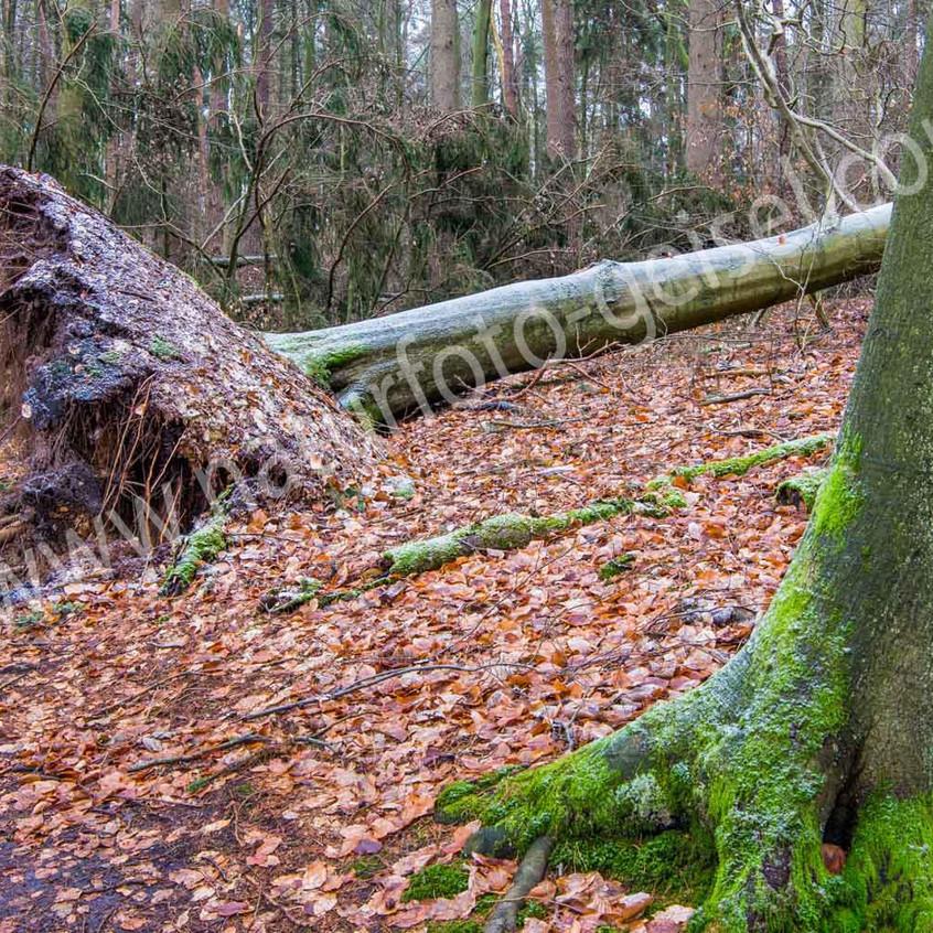 Rotbuche, Windwurf DSC_0424-2