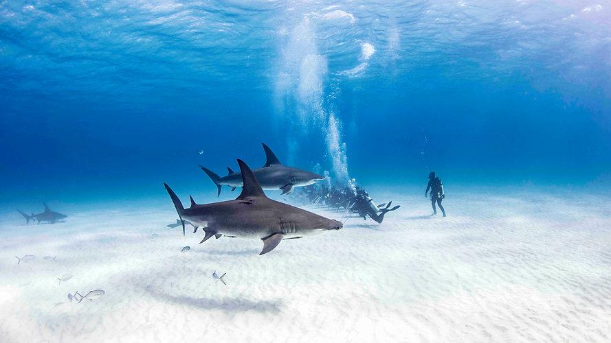 KK-Hammerhead-Shark-Safari-1.jpg