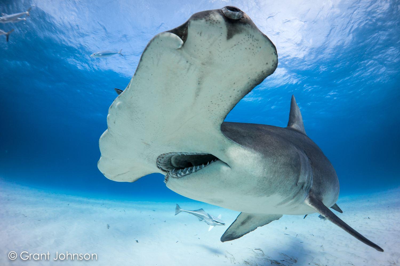 bimini scuba center bull shark safari bull run bimini bahamas