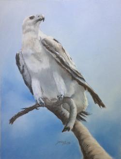 Final White Bellied Sea Eagle - Kakadu