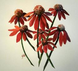 Glenda Tjepkema Red Echinacea