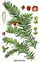 290px-Cleaned-Illustration_Taxus_baccata
