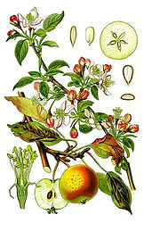 290px-Cleaned-Illustration_Malus_domesti