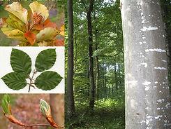 hetre-commun-jeunes-plants-en-racines-nu