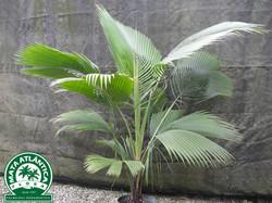 Beccariophoenix madagascariensis