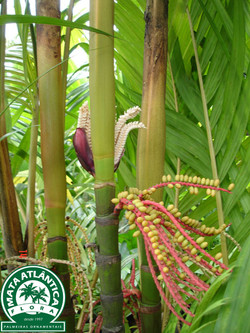 Pinanga coronata