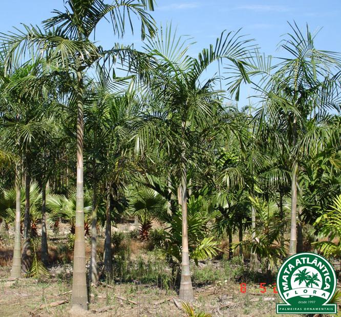 Carpentaria acuminata
