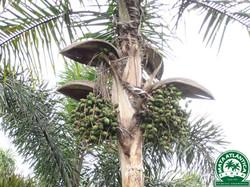 Syagrus botryophora