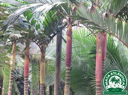 Pinanga maculata