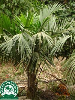 Syagrus schizophylla