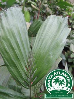 Reinhardtia gracilis