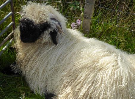 Too Late for Sheep Shearing?