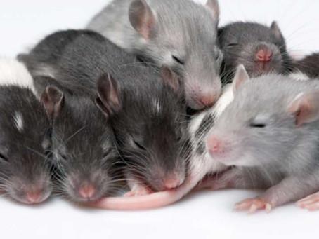 Biologi Dan Karakteristik Tikus