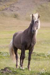 Island - Islandský kůň