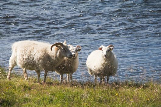 Island ovce
