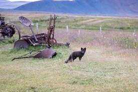 Island polární liška