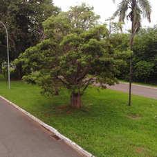 Baobá em frente à Embrapa Asa Norte (21/12/2020)