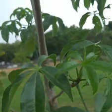 Placa de identificação do plantio do baobá na área de frente da EAPE (20/11/19)