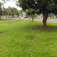 Baobá canteiro 716/916 Norte (21/12/2020)