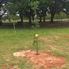 Placa de identificação do plantio do baobá na área dos fundos da EAPE (20/11/2019)