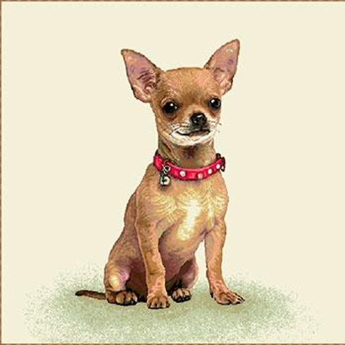 Carré - Chihuahua collier rouge