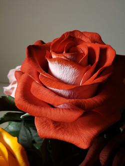 Bicolored sugar rose