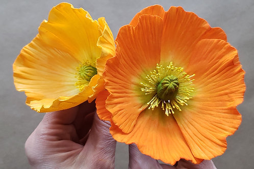 Boston, MA  April 19, 2020. Poppy: flowers and leaves