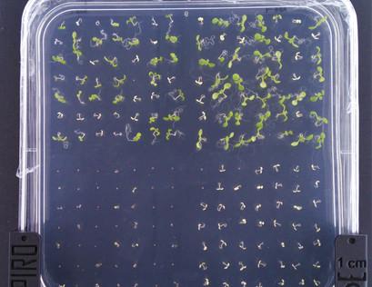 Seedlings on the selection medium