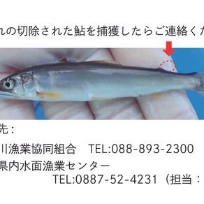土居川へ放流した標識アユのデータ収集にご協力ください