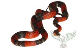 Oxyrhopus guibei