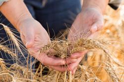 A women's hands holding a handful of grain