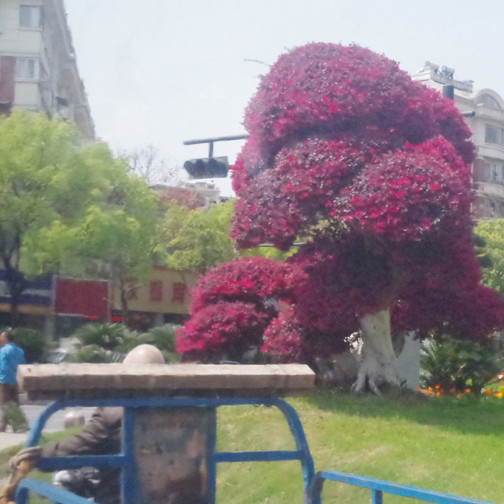 Our guests and teens took so many pictures of the landscaping in China...kilometers and kilometers of median planted with flowers, topiary, bonsai, and kept beautifully maintained.