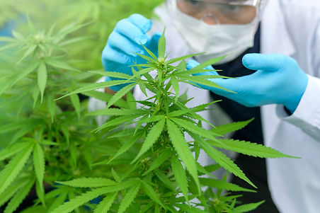 close-up-of-scientist-with-gloves-and-glasses-examining-cannabis-sativa-hemp-plant.jpg