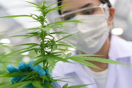 close-up-of-scientist-with-gloves-and-glasses-examining-cannabis-sativa-hemp-plant-2.jpg