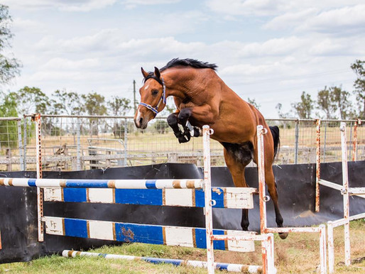 AUSTRALIA: CLARITY GNZ STALLION OWNED BY FINCH FARM. EMBRYOS AVAILABLE FROM DAM - SANTANA GNZ (x CAS
