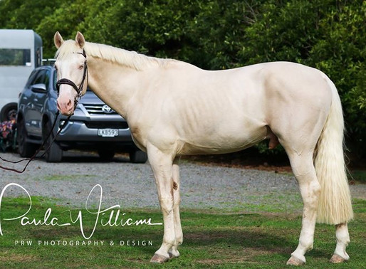 WELCOME TO PL PERFORMANCE HORSES SP BLUE EYED GHOST