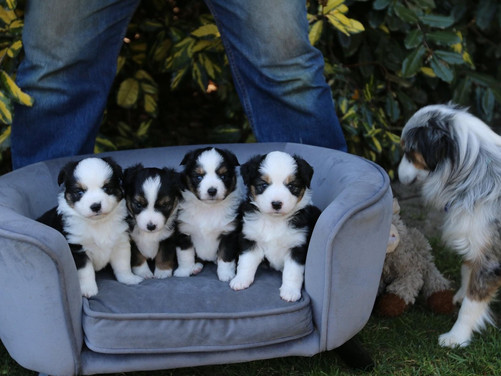 COWBOY x PANDA PUPPIES (SOLD)