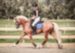 Golden Strike German Pony Ridng Stallion