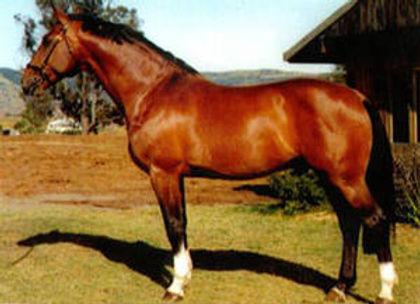 Holsteiner Stallion Lander Goldengrove