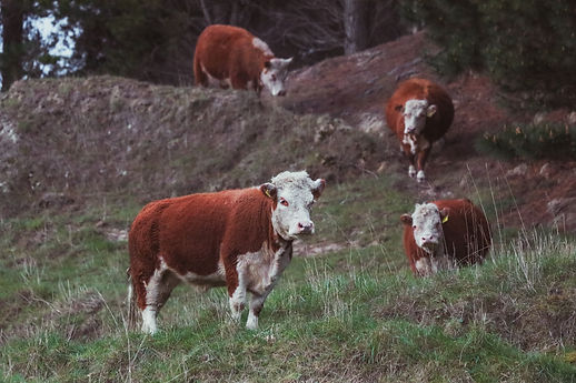 Onawe Farm Polled Miniature Hereford