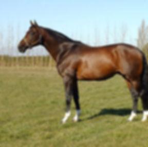 Littorio Holsteiner Stallion