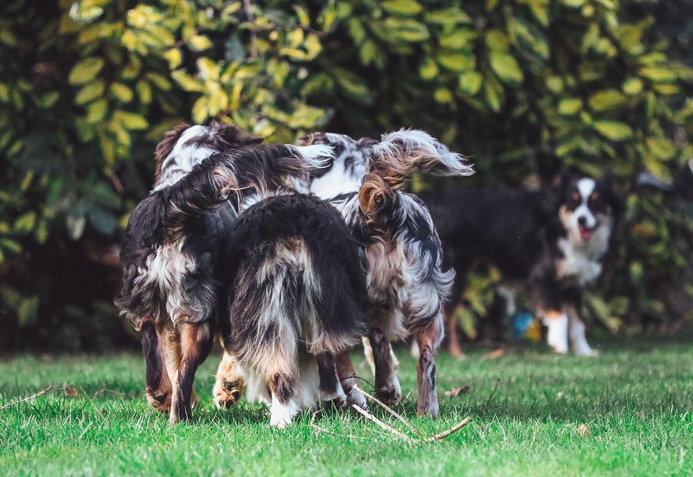 Wagon Tails Miniature American Shepherds NZ