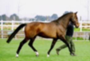Corlando Stallion Goldengrove