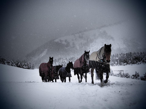 PL horses returning to their boxes in a Winter Storm.